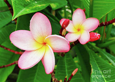 Photograph - Plumeria Flower 3 by Laura Forde