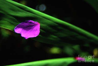 Photograph - Plumeria Flower Petal On Plumeria Leaf- Kauai- Hawaii by Rick Bures
