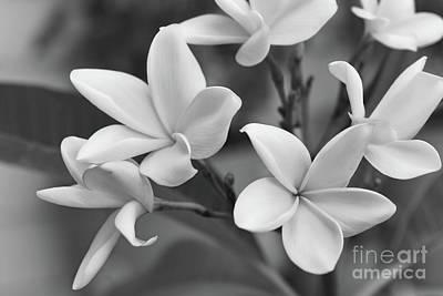 Photograph - Plumeria Flowers by Olga Hamilton