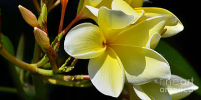Photograph - Plumeria Flowers Panorama by Olga Hamilton