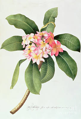 Botanical Painting - Plumeria by Georg Dionysius Ehret