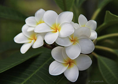 Photograph - Plumeria - Golden Hearts by Kerri Ligatich