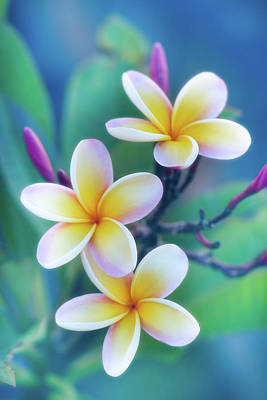 Florals Royalty-Free and Rights-Managed Images - Plumerias in Pastel by Jade Moon