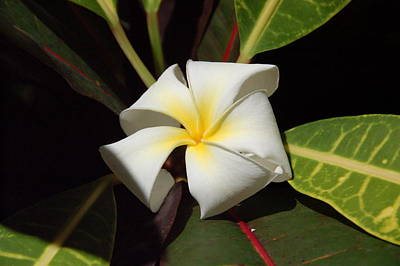 Pop Art Rights Managed Images - Plumeria Royalty-Free Image by Kelly Wade