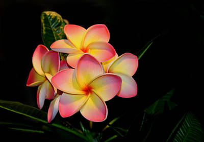 Photograph - Plumeria by Living Color Photography Lorraine Lynch