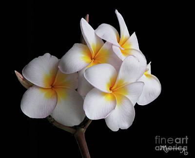 Photograph - Plumeria by Mariarosa Rockefeller