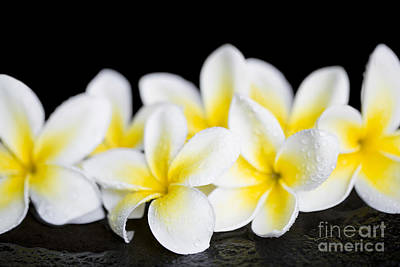 Photograph - Plumeria Obtusa Singapore White by Sharon Mau