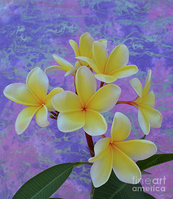 Fragipani Photograph - Plumeria Over Pastel by To-Tam Gerwe