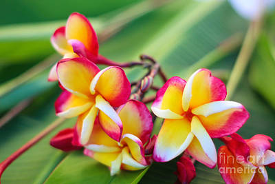 Photograph - Plumeria Rainbow by Jared Shomo