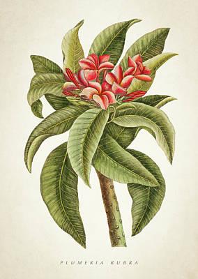 Botanical Digital Art - Plumeria Rubra Botanical Print by Aged Pixel