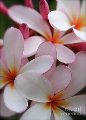Photograph - Plumeria Softness by Carol Groenen