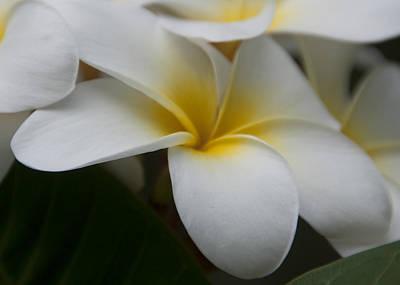 Olympic Sports - Plumeria by Steven Natanson