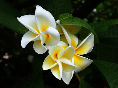 Photograph - Plumerias by Gary Cloud