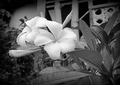 Photograph - Plumerias In Black And White by Kay Novy
