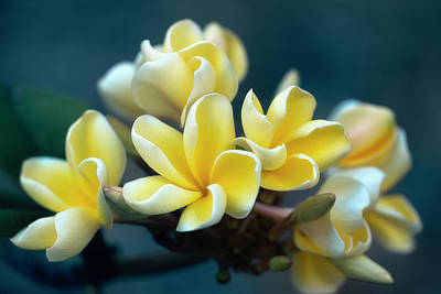 Photograph - Plumerias Out Of The Blue by Jade Moon