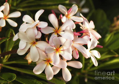 Photograph - Plumerias by Vincent Bonafede
