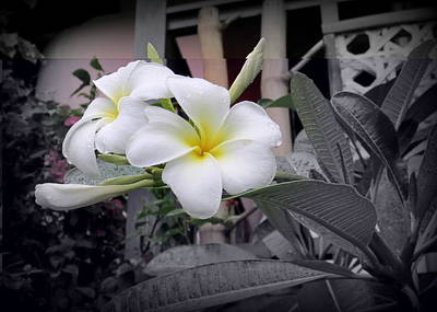 Photograph - Plumerias With Selective Coloring by Kay Novy