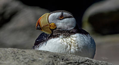 Photograph - Plump Puffin by Bill Posner
