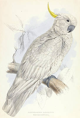 Relief - Plyctolophus Galeritus. Greater Sulphur-crested Cockatoo. by Edward Lear