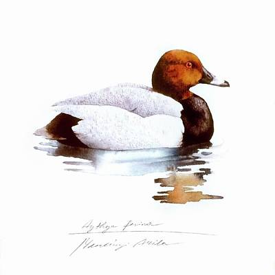 Painting - Pochard by Attila Meszlenyi