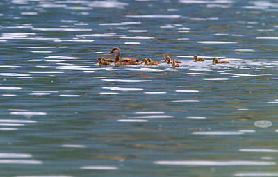 Photograph - Pochard Duck, Anas Platyrhynchos, And Babies by Elenarts - Elena Duvernay photo