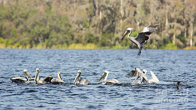 Photograph - Pod Of Pelicans by Brad Marzolf Photography