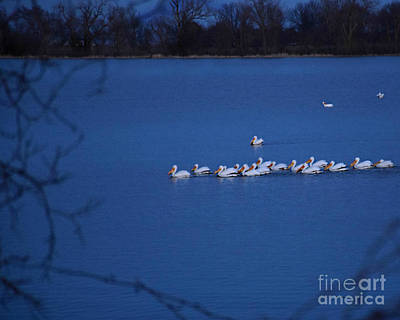 Photograph - Pod Of Pelicans by Kathy M Krause