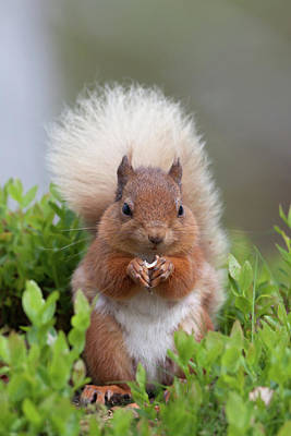 Photograph - Podgy Red Squirrel by Peter Walkden