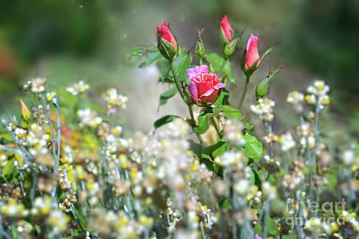 Photograph - Blushing Roses by Susan Warren