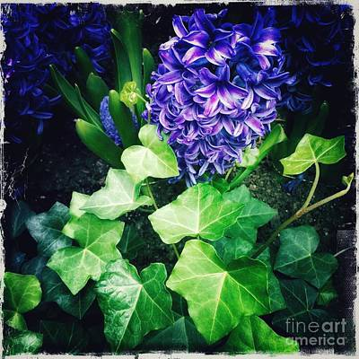 Photograph - Poetry In Blue And Green - Hyacinths by Miriam Danar