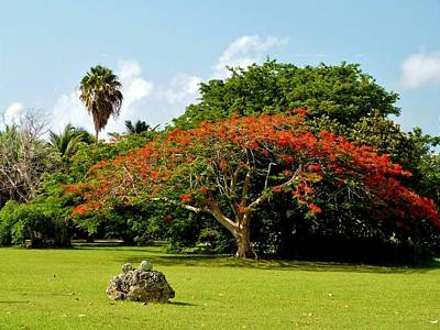 Photograph - Poinciana by Amar Sheow