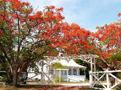 Poinciana Cottage Art Print