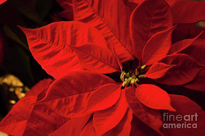 Photograph - Poinsetta by Lena Auxier