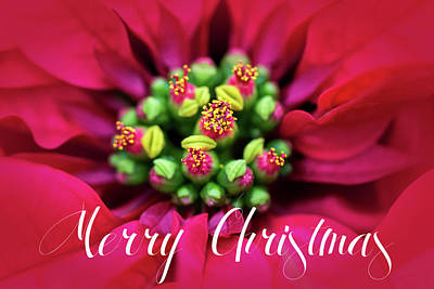 Photograph - Poinsetta Merry Christmas by Deb Buchanan