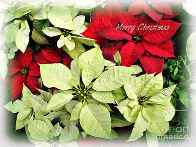 Photograph - Poinsetta Mix by Joan  Minchak