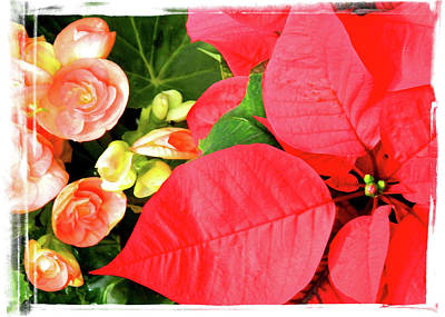 Photograph - Poinsettas With Begonias by Elaine Hines