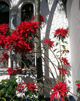 Photograph - Poinsettia And Palms by Sarah Hornsby