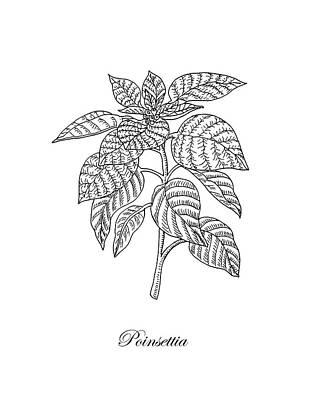 Floral Drawings - Poinsettia Botanical Drawing by Irina Sztukowski