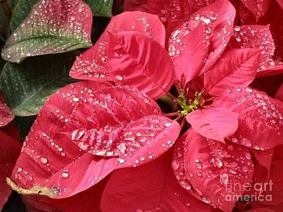Poinsettia Christmas Dew Art Print by Kathy Daxon