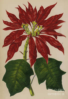 Poinsettia Painting - Poinsettia by English School