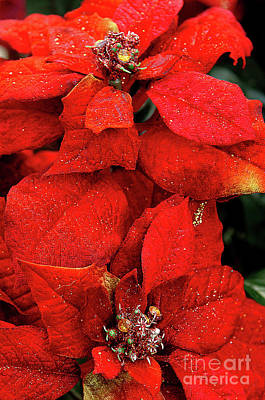 Photograph - Poinsettia by JT Lewis