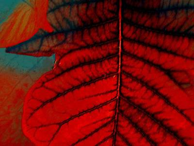 Photograph - Poinsettia Leaf Abstract by Beth Akerman