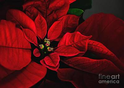 Photograph - Poinsettia by Lois Bryan