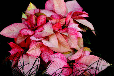 Poinsettia Art Print by Lyle  Huisken
