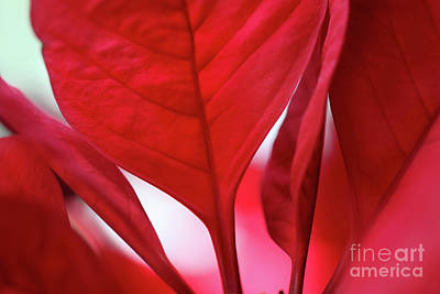 Photograph - Poinsettia Moods by Karen Adams