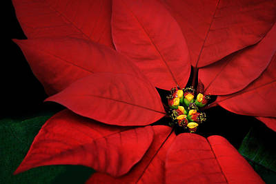 Photograph - Poinsettia by Nikolyn McDonald