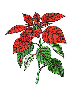Painting - Poinsettia Plant Watercolor by Irina Sztukowski