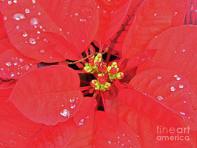 Photograph - Poinsettia With Raindrops by D Hackett