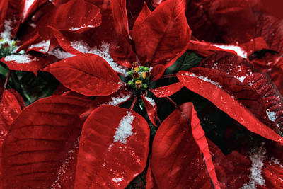 Photograph - Poinsettia With Snow by Donna Kennedy