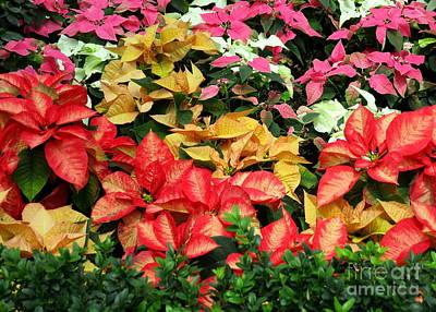 Photograph - Poinsettias 1 by Randall Weidner